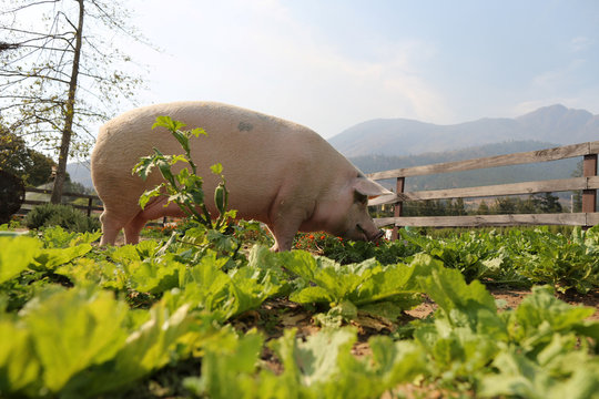 Pigcasso, a rescued pig, is seen in an organic vegetable garden after painting at the Farm Sanctuary in Franschhoek