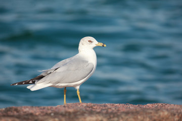 Larus delawarensis perched on a rock on the beach