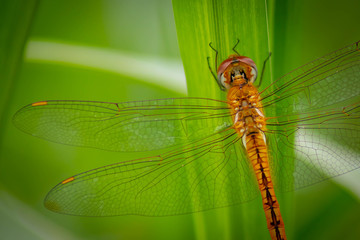 Golden dragonfly on plant - Image