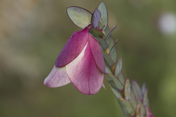 Delicate pink of Qualup Bell blossom