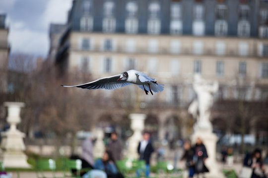 A seagull flying in a park looking for food in Paris in France
