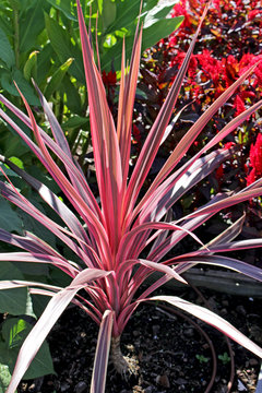 Cordyline rouge au jardin