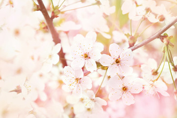 Spring blossom/springtime cherry bloom, bokeh flower background, pastel and soft floral card, toned