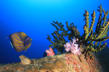 Bluering Angelfish fish on coral reef in Thailand