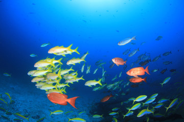 Coral reef and fish in Similan Islands, Thailand