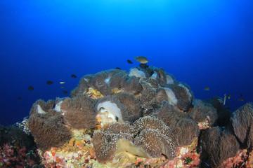 Clownfish anemonefish fish on coral reef