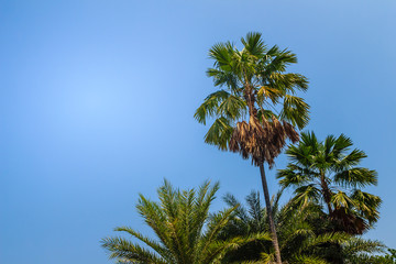 Looking-up view of a beautiful tropical palm tree with blue sunny sky background. Green leaves of palm tree forest on blue sky with copy space for text.
