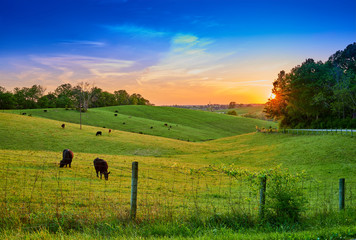 Field of Cows Grazing at Sunset Wall mural