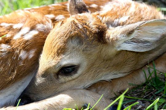 Closeup of a Newborn Whitetail Deer Fawn