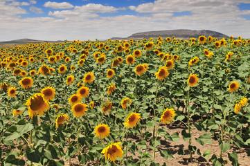 Sunflower field (Helianthus annuus), Costa de la Luz, Cadiz Province, Andalusia, Spain.