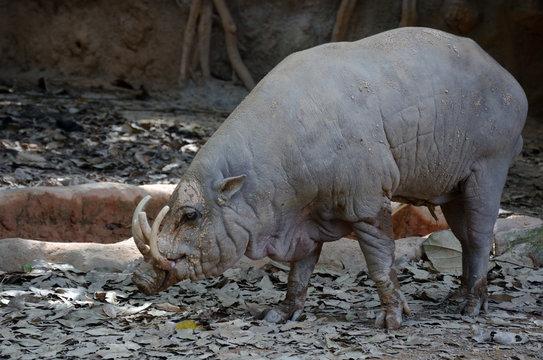Babirussa, an endemic species of wild boar in Sulawesi