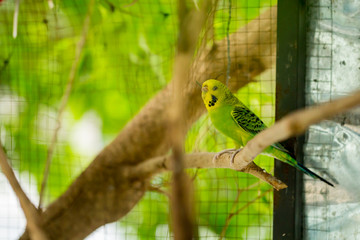 Green budgerigar parrot close up sits on tree branch in cage.