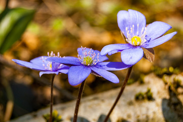 Macro close-up of first blooming tender Hepatica Snowdrop blue violet flowers in early spring forest
