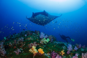 Wall Mural - Huge Oceanic Manta Ray (Manta birostris) over a colorful tropical coral reef with a underwater photographer behind