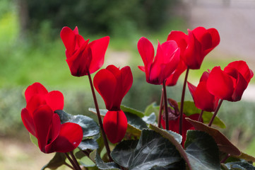Closeup of red cyclamens
