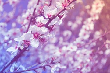 closeup of almond blossoms