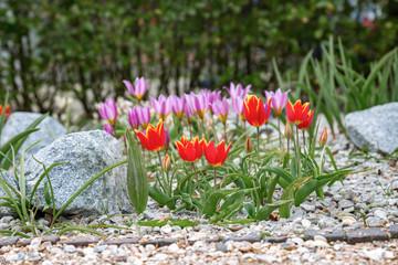 rot und pinkfarbenes Tulpenbeet