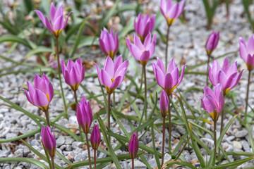 Tulipa tarda - Zwerg-Stern-Tulpe