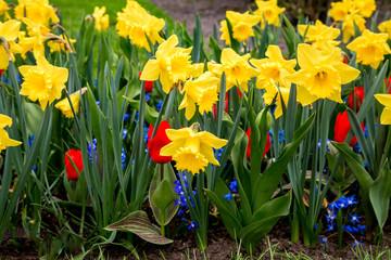 Blühende Osterglocken und Tulpen in einem Gartenbeet
