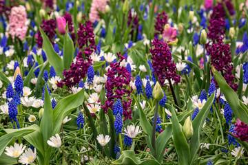 Farbige Hyazinthen auf einer blühenden Wiese