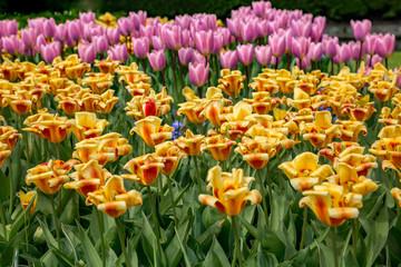 Verschieden farbige Tulpen auf einer Wiese