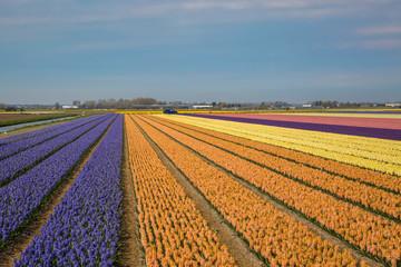 Hollänische Blumenfelder mit mehrfarbigen Hyazinthen