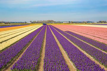 Blumenfeld in Holland mit lila, weissen und pinkfarbenen Hyazinthen