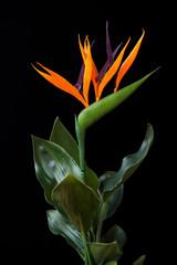 Close-up of strelitzia bird of paradise flower on the black background