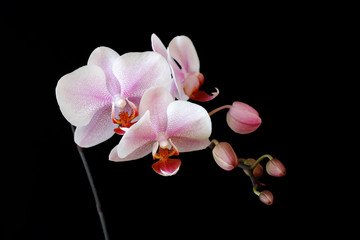 Close-up of white-pink orchid (Orchidaceae) flower on the black background