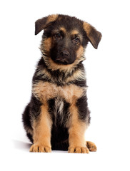 shepherd puppy isolated
