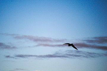 Seagull fliying over the cantabrian coast