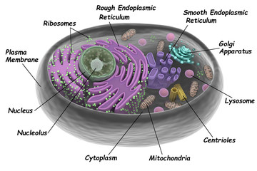 Animal cell, 3d rendering, isolated on white with the organelles labeled