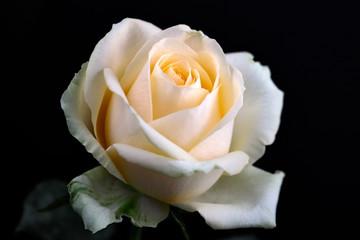 Portrait of pastel vanilla color rose on the black background