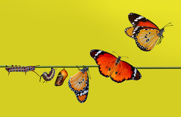 Papiers peints Papillon A farm for butterflies, pupae and cocoons are suspended. Concept transformation of Butterfly