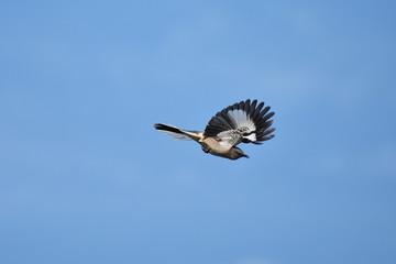 Northern mockingbird in flight with blue sky