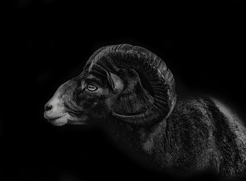 close up ram isolated on black background