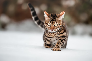 Bengal Cat Portrait