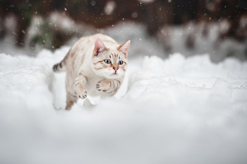White Bengal in Snow