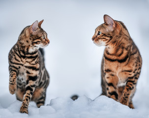 Bengal Cats in Snow