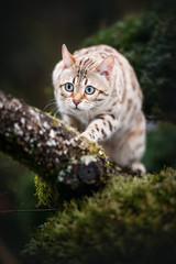 White Bengal on Tree