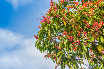 Pink flowers long john ant tree or Palozantos tree (Triplaris cumingiana) with green leaves and blue sky background. The Long John Tree is native to Central-South America. It also called the Ant Tree.