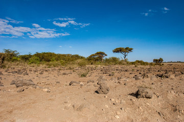 Wall Mural - Kenya. Africa. African acacias on the horizon. Savannah terrain with rocks and sand. Sunny day in the savannah. Landscape of Kenya. African safari.