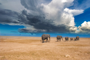 Wall Mural - Kenya. Africa. African elephants. A group of elephants in the savannah. Sunny day. Animals of Kenya. Safari in Africa.