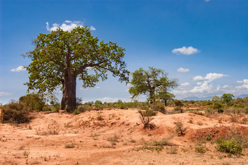 Keuken foto achterwand Baobab Kenya. Africa. Baobabs in the savannah. African baobabs. Savanna trees. Landscapes of Kenya. Travel to Africa.