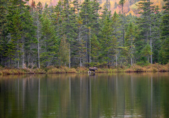 Young Male Moose on bank of sandy pond, Baxter State Park Maine.