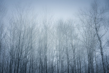 Fototapeta Forest in Blizzard, Black Forest, Canada
