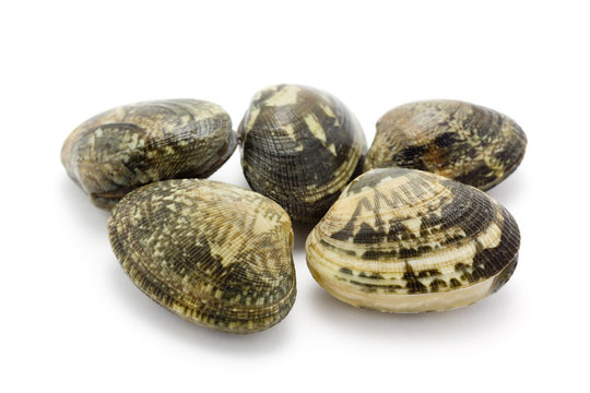 Japanese littleneck, clam (ASARI)
