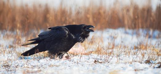 Raven calling. Corvus corax