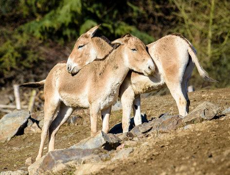 Turkmenian kulan (Equus hemionus kulan)