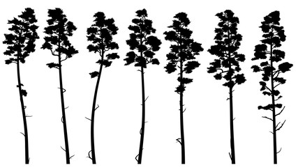Silhouettes of tall pine trees with bare trunk (cedar).